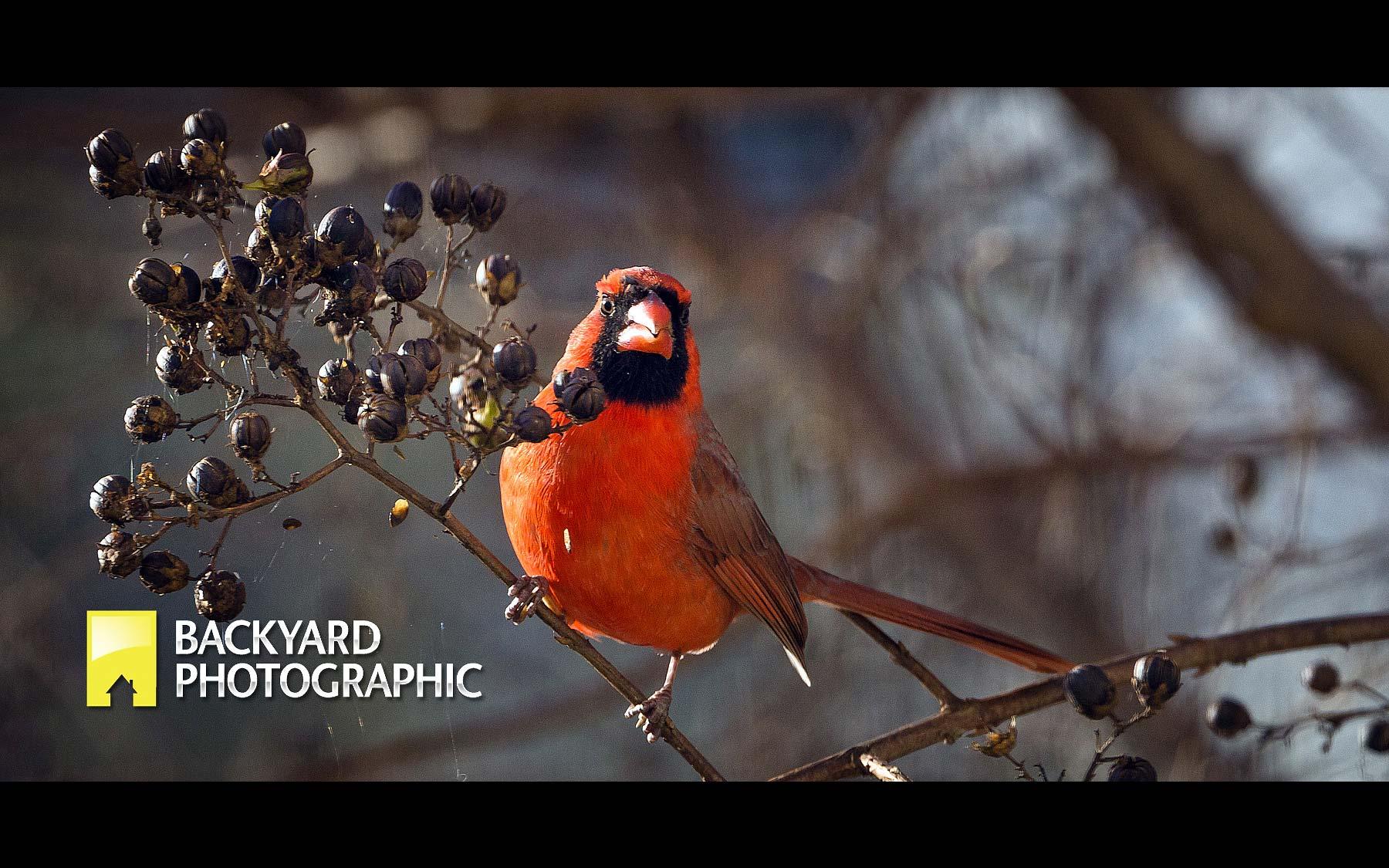 12-BYP-cardinal