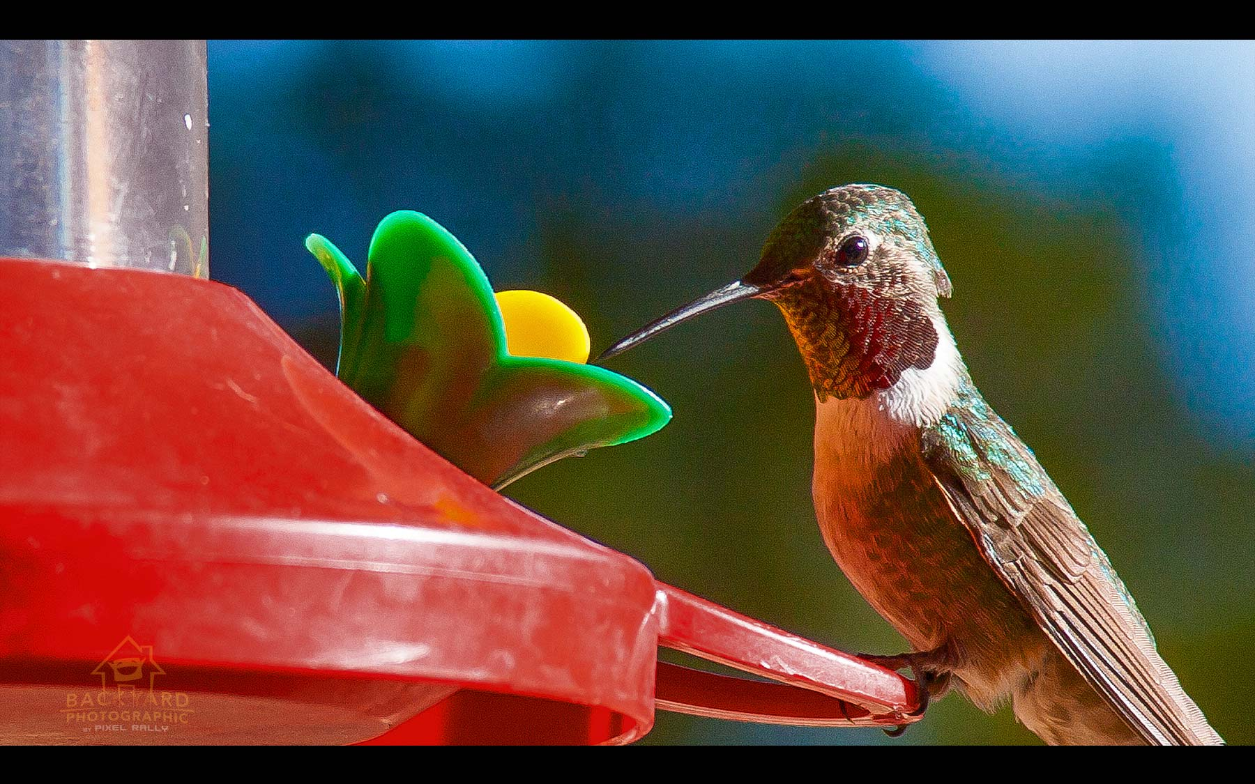 BYP-hummingbirds-19