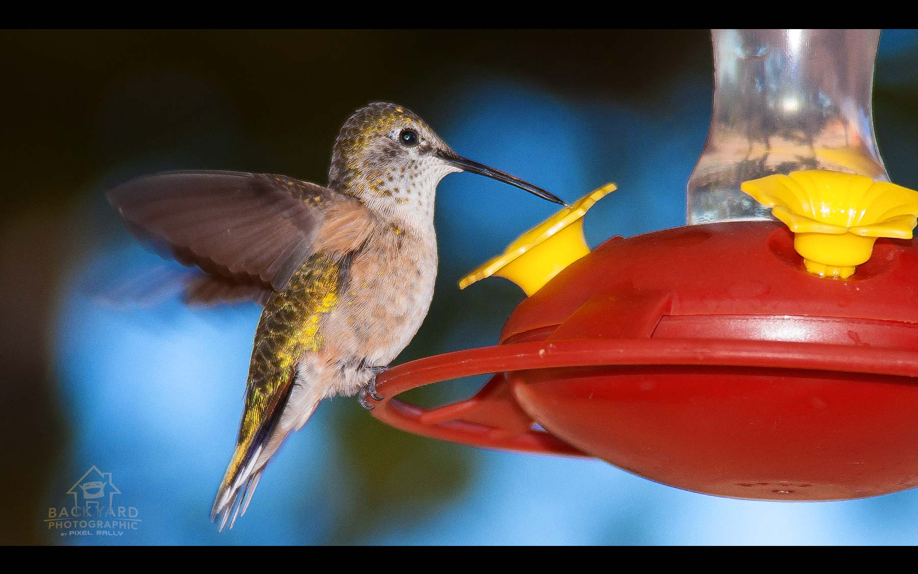 BYP-hummingbirds-20