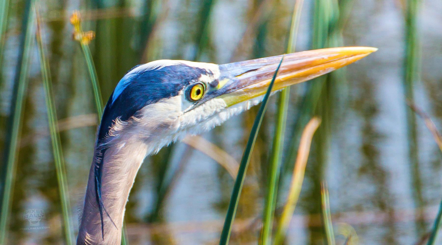 FL-VieraWetlands-HeronEye