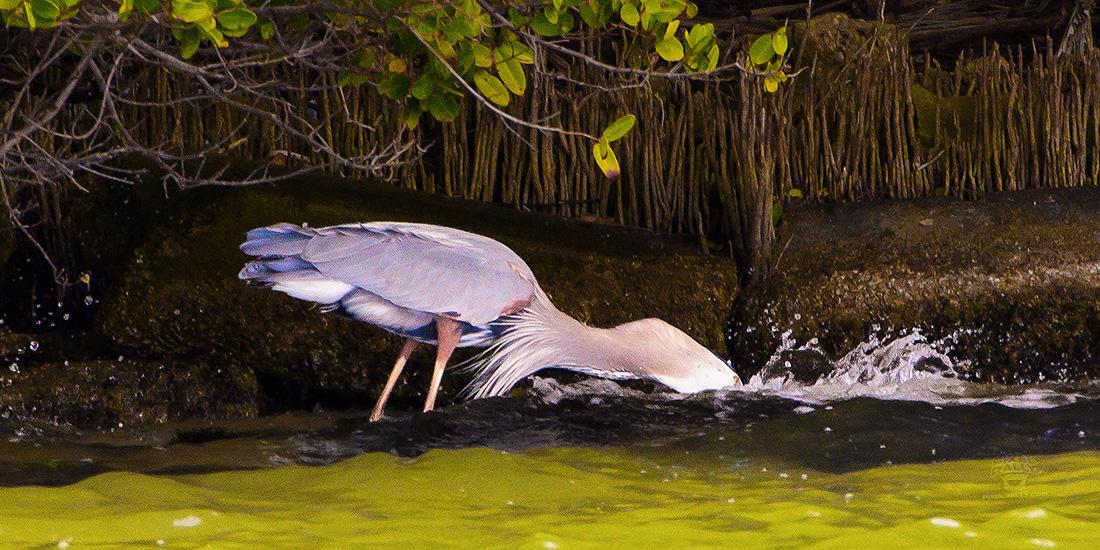 FL-WildlifeTour-HeronGulp00