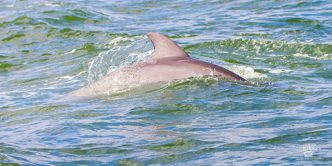 FL-WildlifeTour-dolphin6