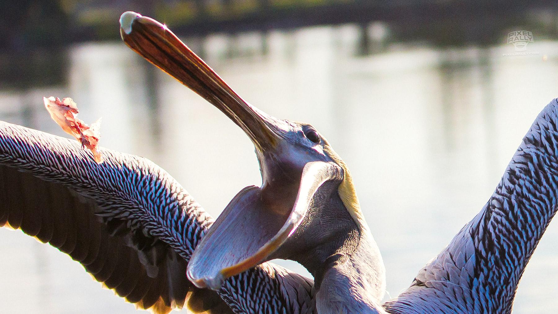 FL-pelican-fish-catch