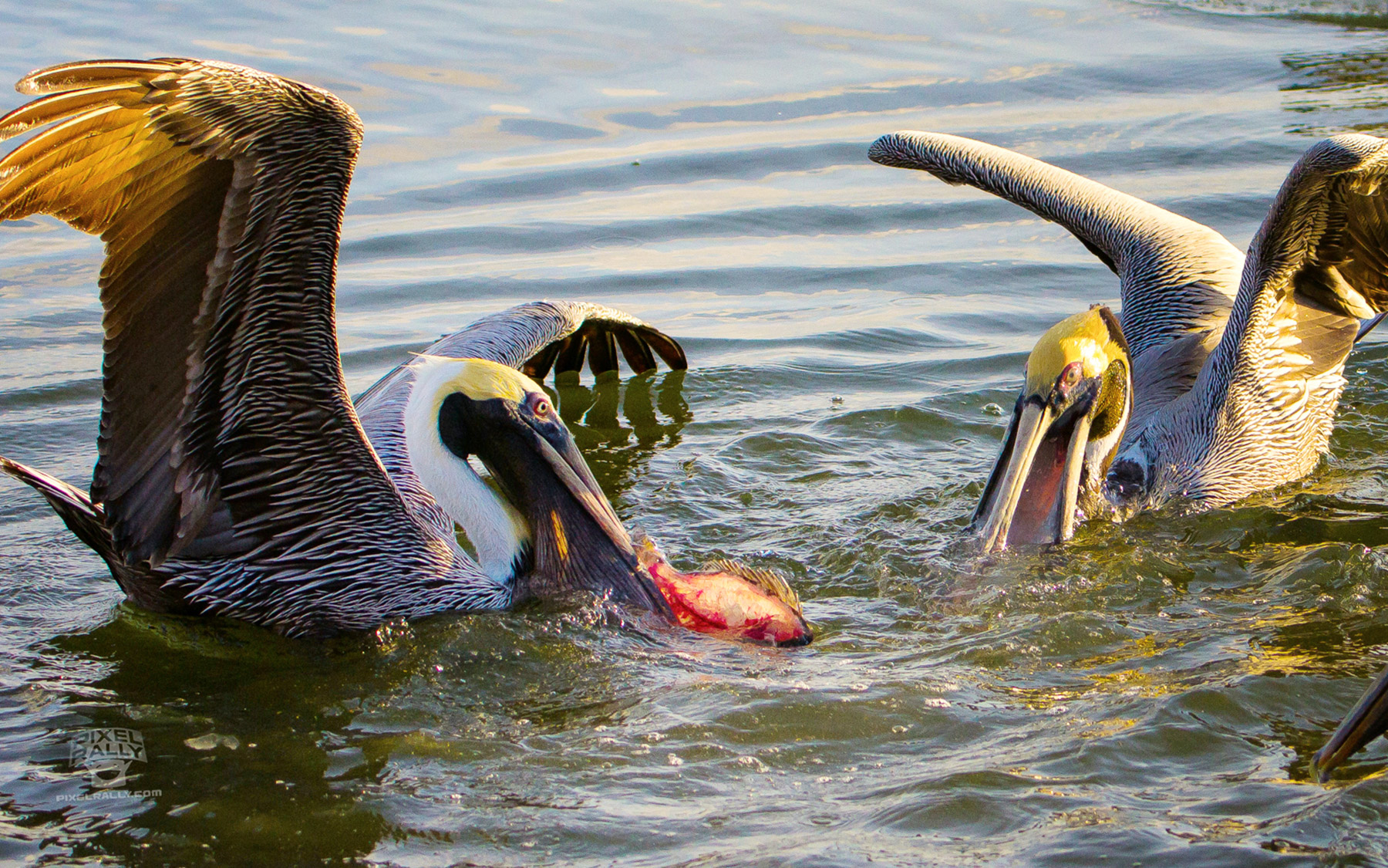 FL-pelican-fish-steal