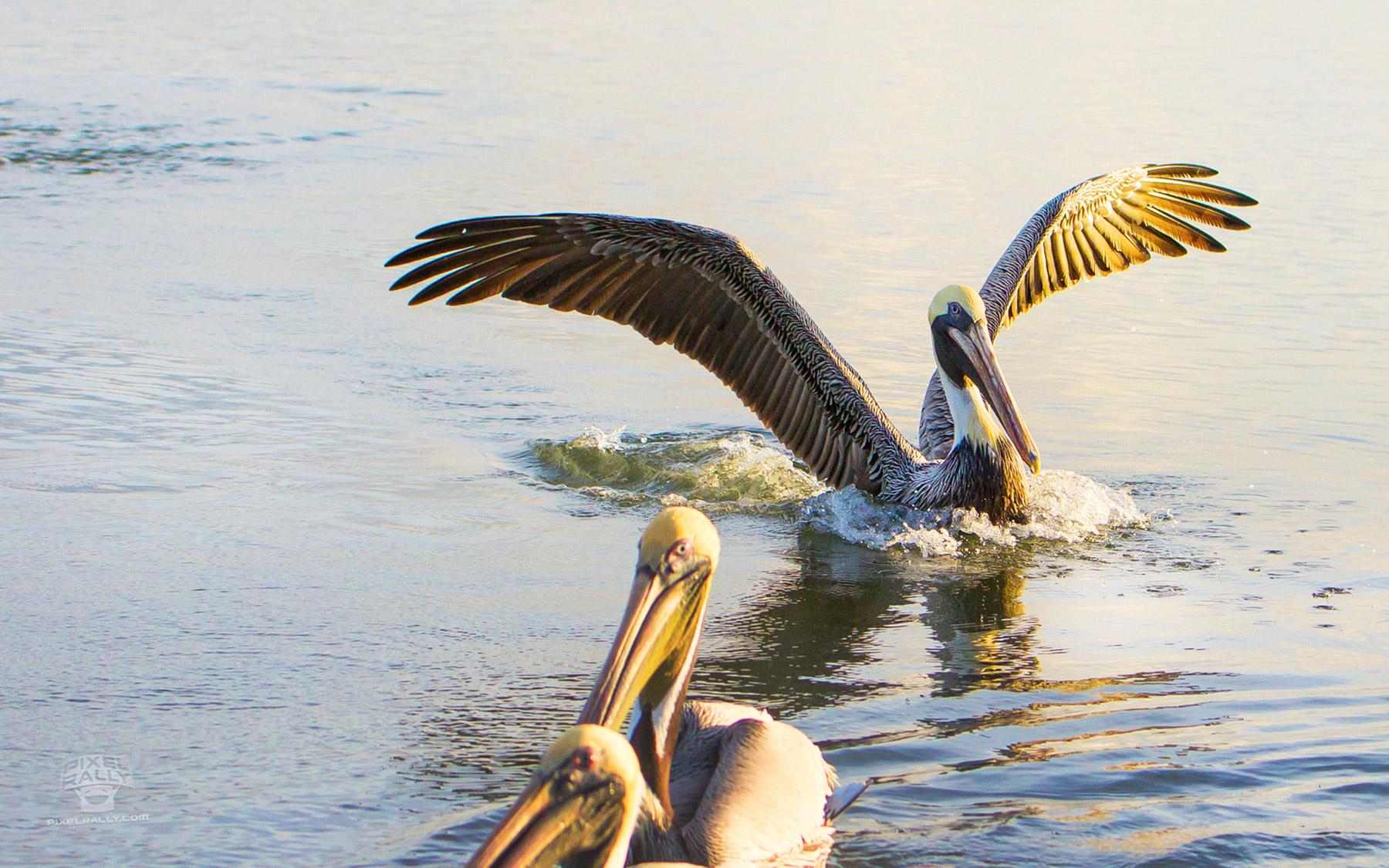 FL-pelican-water-landing