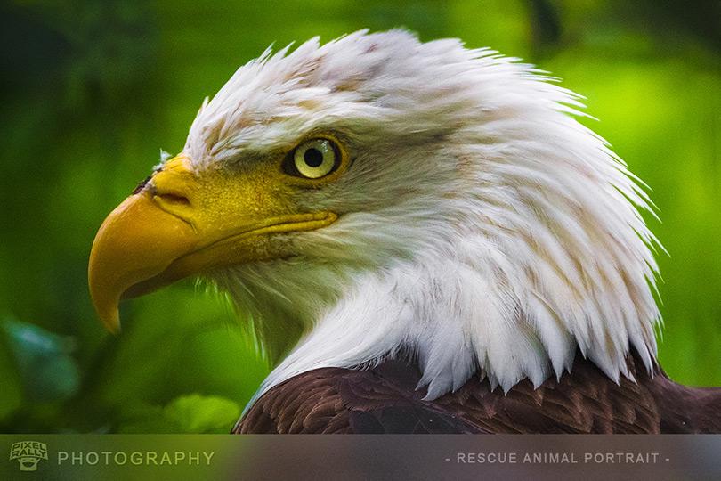 Photography-BaldEagle