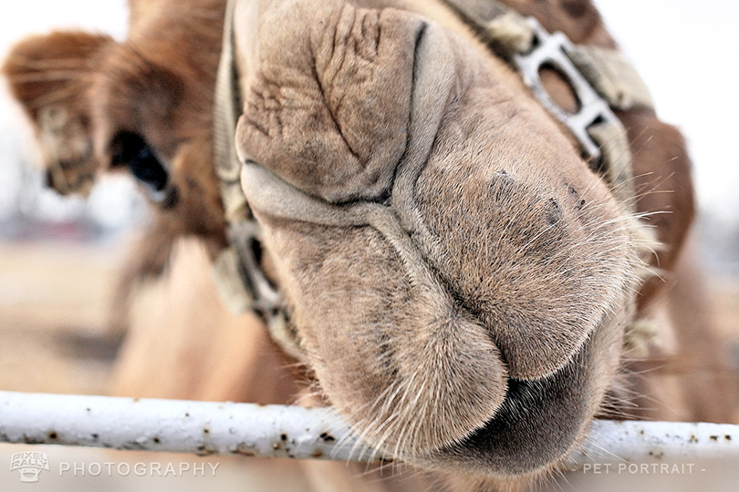 Photography-Camel
