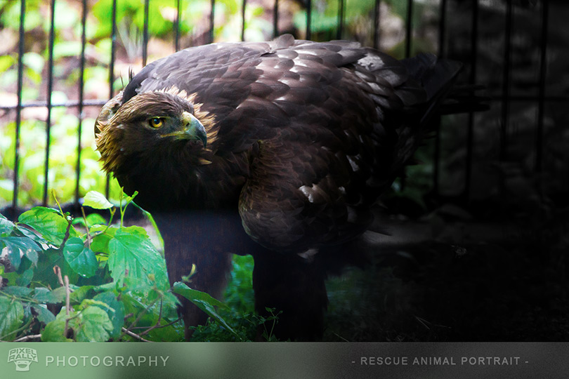 Photography-GoldenEagle