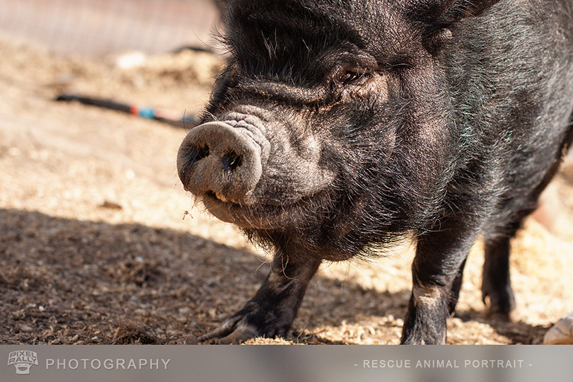 Photography-Pig