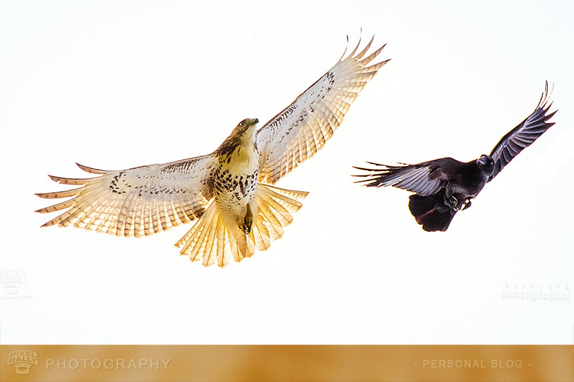byp-hawk-vs-crow