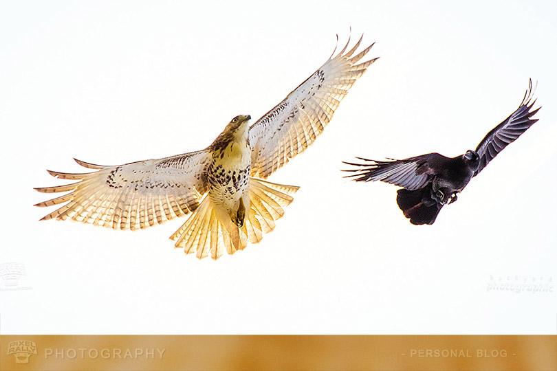 byp-hawk-vs-crow