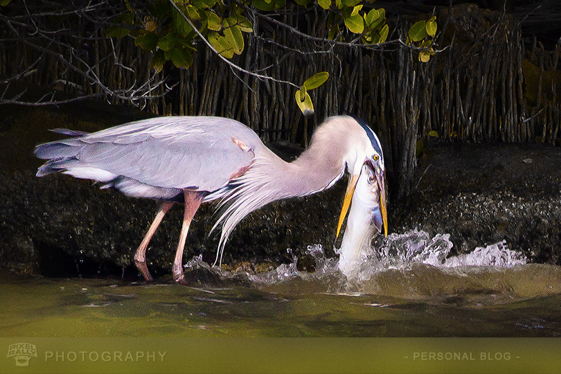 byp-heron-vs-fish