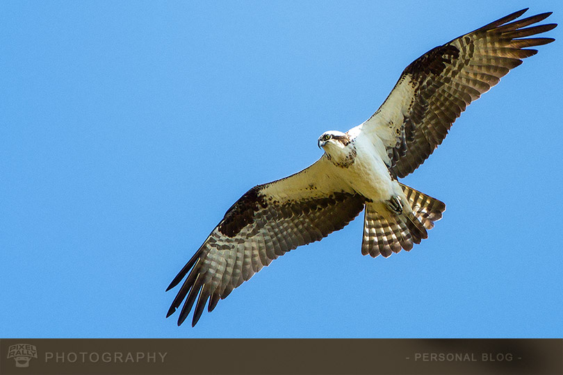 byp-osprey-hero