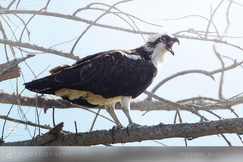 byp-osprey-squawk