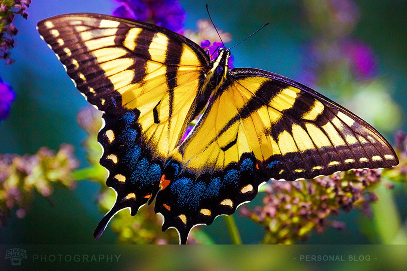byp-swallowtail-butterfly-3