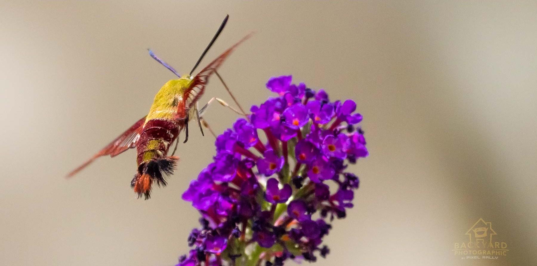 clearwing-hummingbird-moth-2