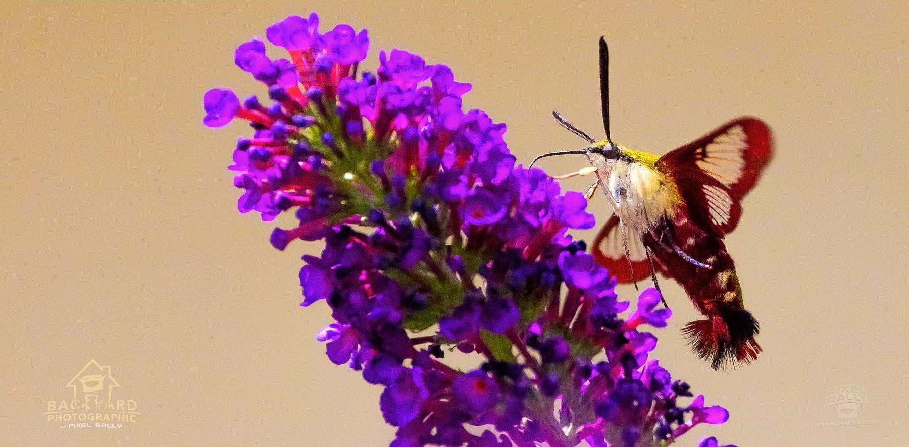 clearwing-hummingbird-moth-3