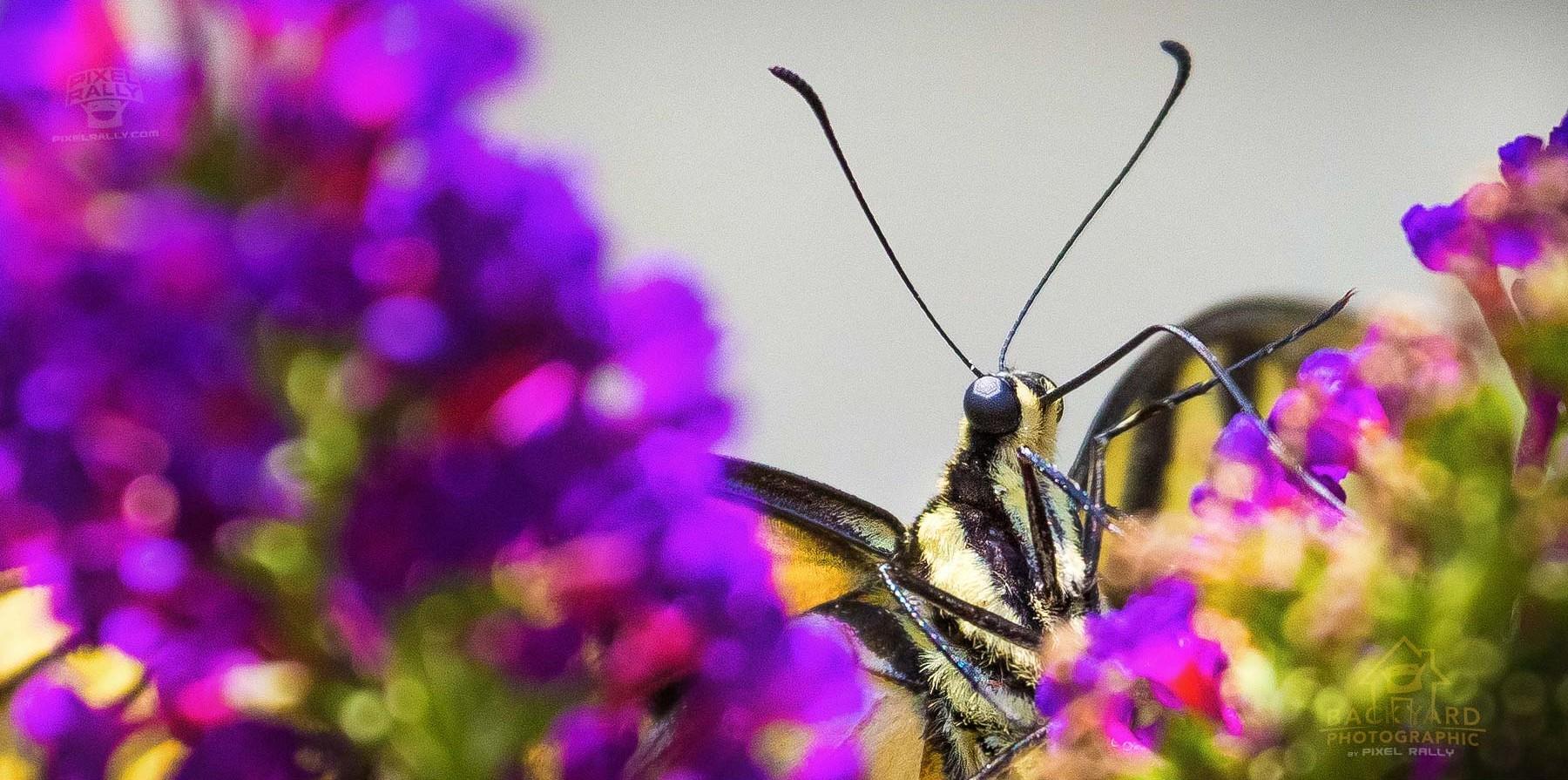 eastern-swallowtail-01