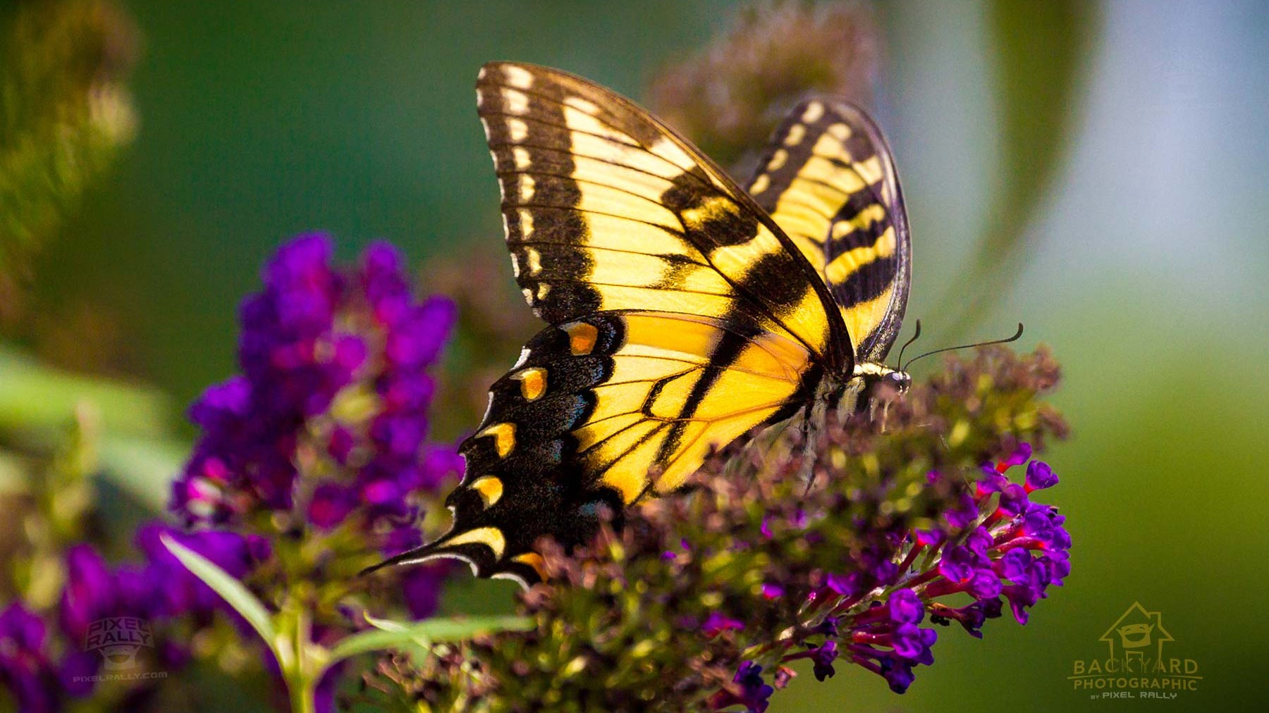 eastern-swallowtail-02