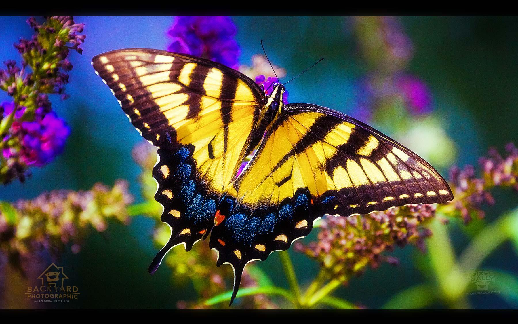 eastern-swallowtail-03