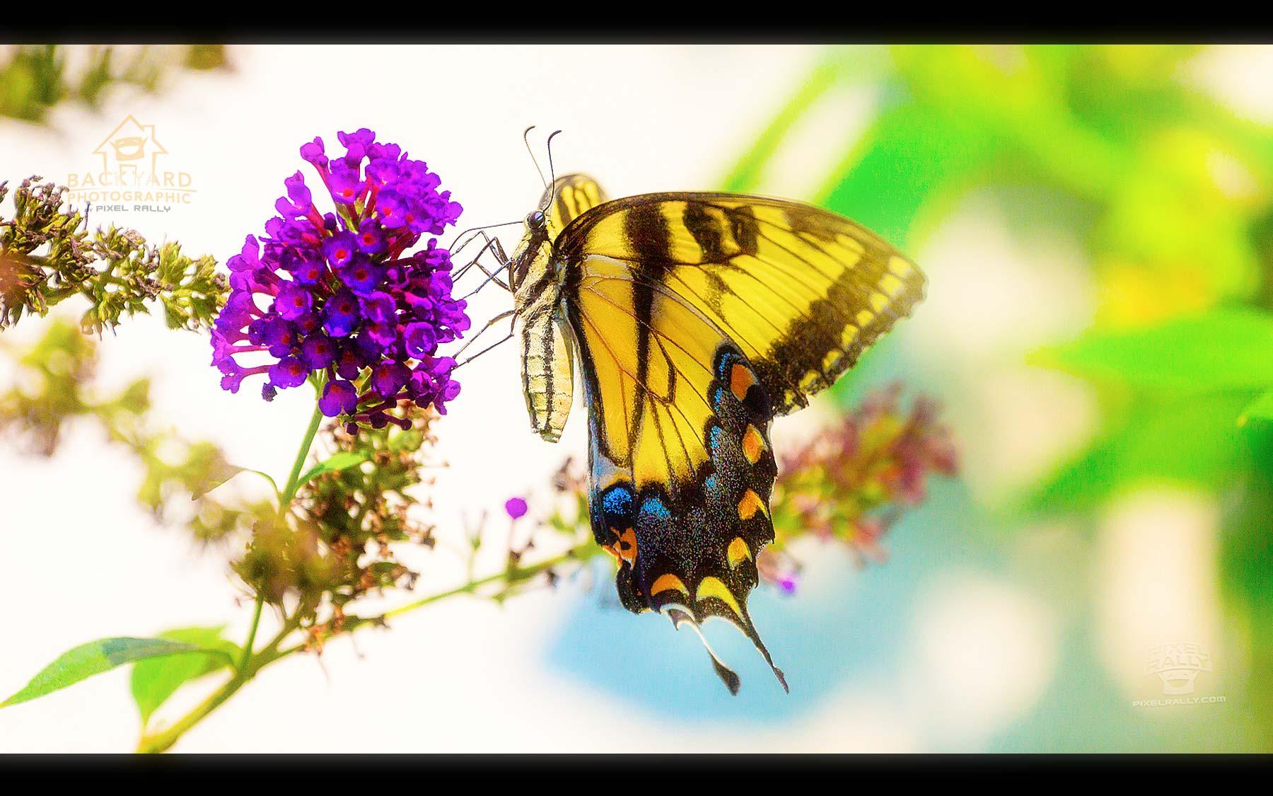 eastern-swallowtail-04