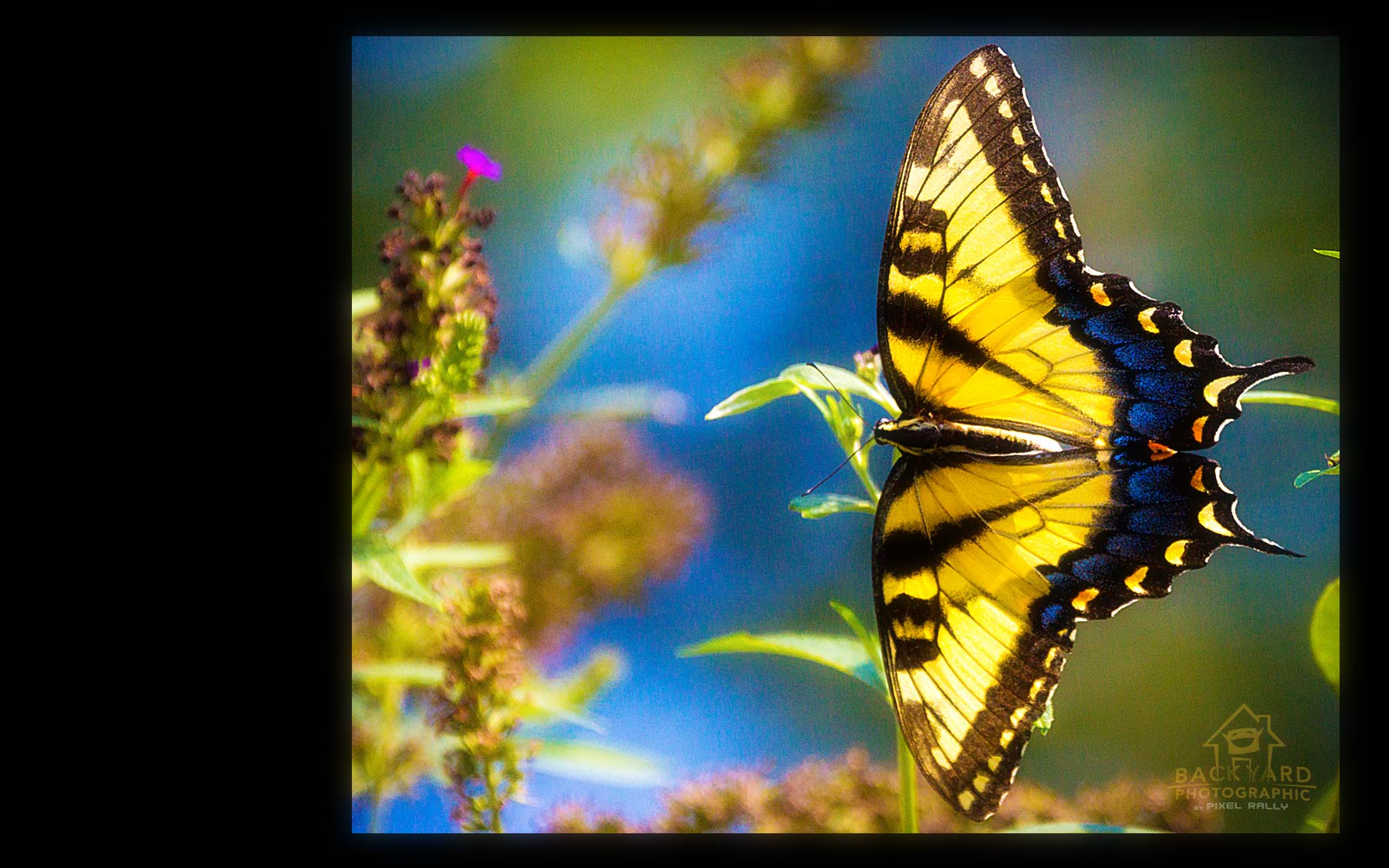 eastern-swallowtail-06