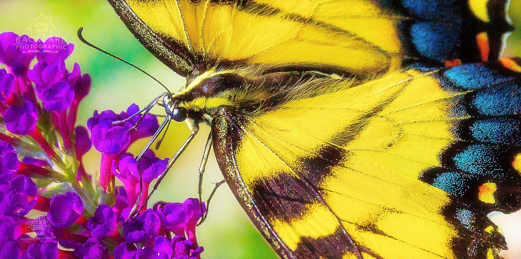 eastern-swallowtail-07